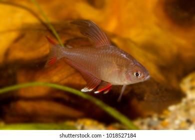 Hyphessobrycon bentosi, aquarium fish