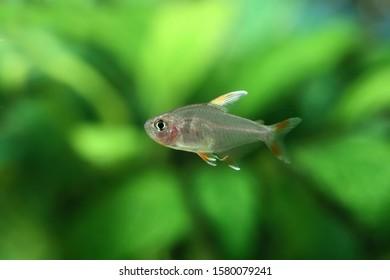 Hyphessobrycon sp. White fin tetra swims in aquarium
