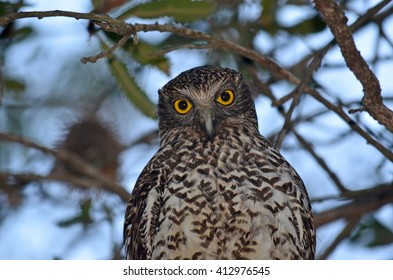Hypnotic yellow eyes of the Powerful Owl