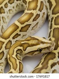 Hypo Burmese Python (Python molurus bivittatus) on white background.