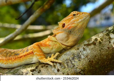 Hypo Leatherback Bearded Dragon perched on a branch