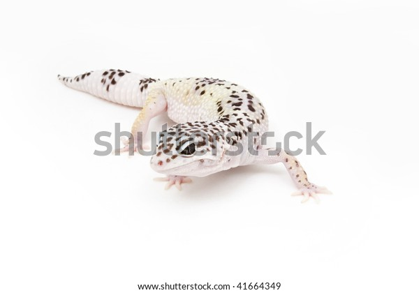 Hypo Tug Snow Leopard Gecko On Stock Photo (Edit Now) 41664349
