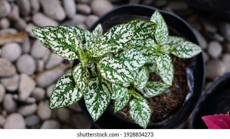 Hypoestes phyllostachya, the polka dot plant, is a species of flowering plant in the Acanthaceae family, native to South Africa, Madagascar and Southeast Asia.