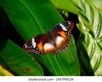 Hypolimnas bolina Common Eggfly Butterfly