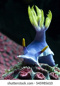 Hypselodoris bullockii nudibranch moving over corals on Bali, Indonesia