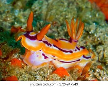 Hypselodoris regina nudibranch taken on the Sodwana Bay coral reefs.