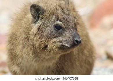 Hyrax in Mossel Bay, South Africa