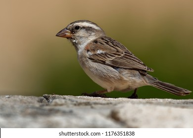 Iago Sparrow - Passer iagoensis - also known as the Cape Verde or rufous-backed sparrow, is endemic to the Cape Verde archipelago, in the eastern Atlantic Ocean near western Africa.