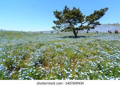 Ibaraki, JAPAN - May 10, 2019. Crowd , tourists enjoying the view of Nemophila at Hitachi Seaside Park,this place popular tourist destination in Japan