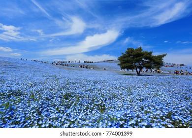 Ibaraki, JAPAN - May 3, 2017. Crowd of tourists enjoying the view of Nemophila at Hitachi Seaside Park,this place  popular tourist destination in Japan