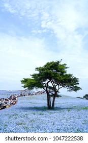 Ibaraki, JAPAN - May 6, 2017. Crowd of tourists enjoy the view of Nemophila (Baby blue eye) flower field at Hitachi Seaside Park, Very popular season in Japan. Landmark.