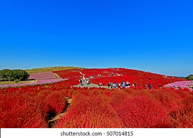 IBARAKI-JAPAN-OCTOBER 26 : Beautiful kochias hill in autumn season at Hitachi seaside park , October 26, 2015, Ibaraki prefecture , Japan