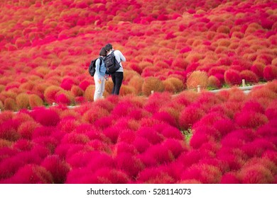 IBARAKI-JAPAN-OCTOBER 30 : Beautiful kochias hill in autumn season at Hitachi seaside park , October 30, 2016, Ibaraki prefecture , Japan