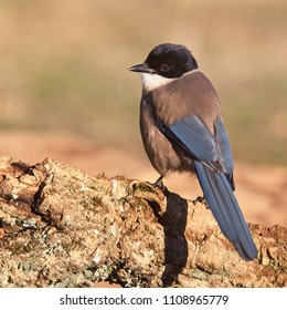 Iberian (Azure-winged) Magpie (Cyanopica cooki), early morning light, Sierra Morena, Andalucia, Spain.