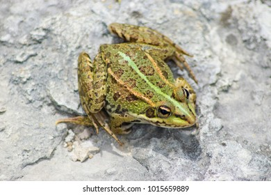 Iberian Green Frog ( Pelophylax perezi ) - also known as Perez's Frog.
