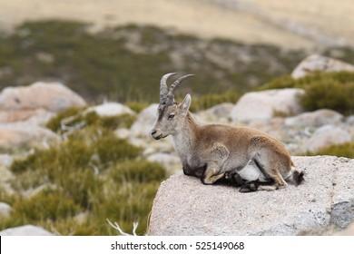 Iberian Ibex - Mating season