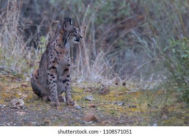 Iberian Lynx, (Lynx pardinus), at a drinking pool, Sierra Morena, Andalucia, Spain.
