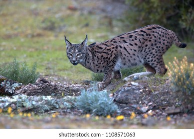Iberian Lynx, (Lynx pardinus), at a drinking pool, Sierra Morena, Andalucia, Spain.