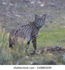 Iberian Lynx, (Lynx pardinus), looking back, Sierra Morena, Andalucia, Spain.