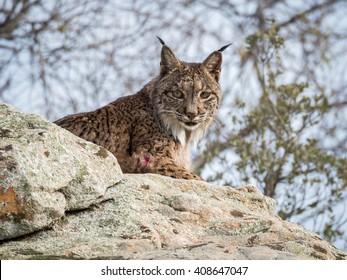 Iberian lynx ( Lynx pardinus ) lying down on a rock in Spain
