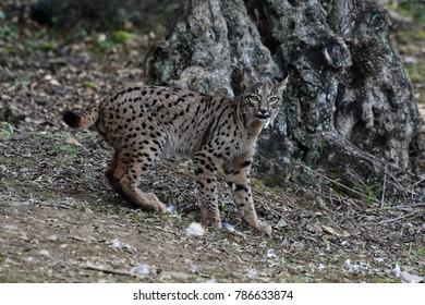 Iberian Lynx (Lynx pardinus) in Sierra Morena (Spain)