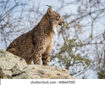 Iberian lynx ( Lynx pardinus ) standing on a rock in Spain