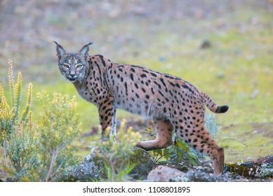 Iberian Lynx, (Lynx pardinus), watching, Sierra Morena, Andalucia, Spain.