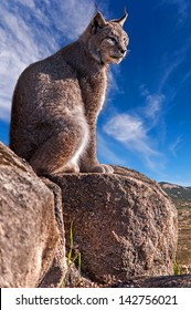 Iberian lynx sitting on a rock watching while sunbathing on a warm day