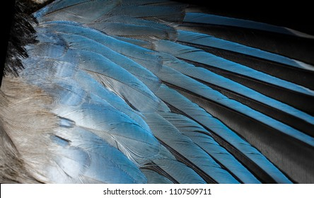 Iberian magpie azure blue wing. Background