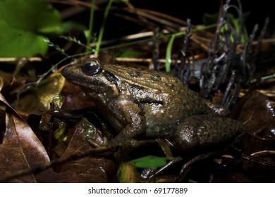 Iberian Painted Frog (Discoglossus galganoi) in Lousa, Portugal