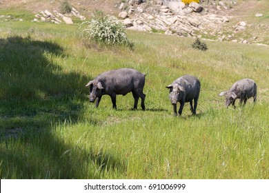 Iberian pig in the field