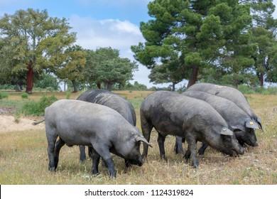 Iberian pigs eating acorns in the oak field in Salamanca, Spain