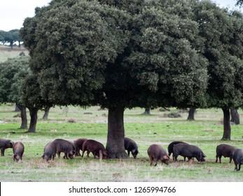 Iberian pigs grazing and eating acorns in the dehesa in Salamanca, Spain