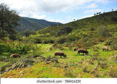 Iberian pigs herd in the meadow, Sierra de Huelva, Spanish product