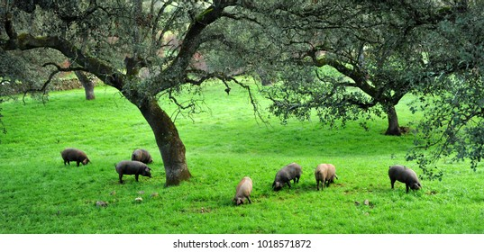Iberian pigs herd (pata negra) feeding on acorns near the village of Cumbres Mayores, Sierra de Huelva, Andalusia, Spain