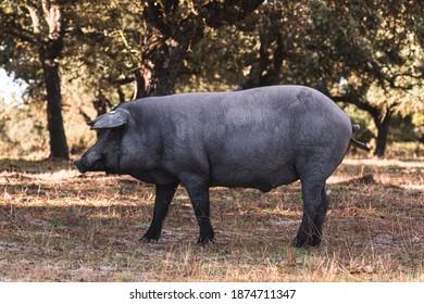 Iberian pork grazing in the field