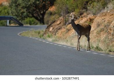 Iberian red deer (Cervus elaphus hispanicus) crossing the road. Female. Monfrague National Park. Caceres. Extremadura. Spain.