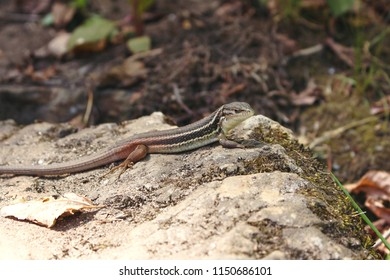Iberian Wall Lizard, or Podarcis hispanica, resting on rock and looking at camera. Found in Paiva Walkways, Portugal