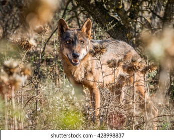 Iberian wolf with beautiful eyes in the forest in summer