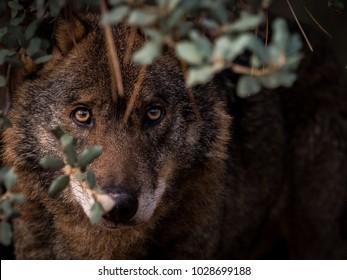 Iberian Wolf (Canis lupus signatus) stalking in the bush