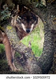 Iberian Wolf (Canis lupus signatus) hidden in the forest