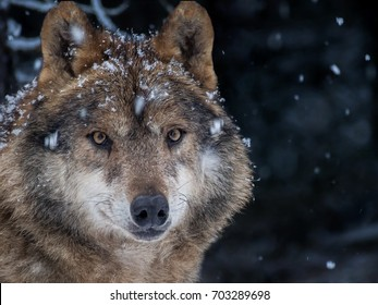 Iberian wolf (Canis lupus signatus) in the snow in the forest in winter