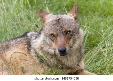Iberian wolf as found in Spain and Portugal