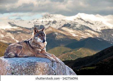 Iberian wolf lying on rocks on a snowy mountain watching while sunbathing on a warm day