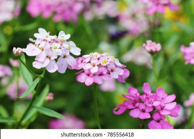 Iberis amara flower. Also called rocket candytuft, bitter candytuft or wild candytuft.