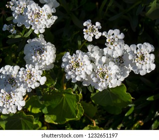 Iberis sempervirens,  evergreen candytuft or perennial candytuft, is a species of flowering plant in the family Brassicaceae, native to southern Europe with tiny white blooms.