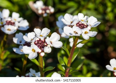 Iberis sempervirens 'Snowflake' a spring summer white perennial bulbous flower plant commonly known as perennial candytuft