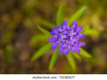 Iberis umbellata flower in full spring bloom