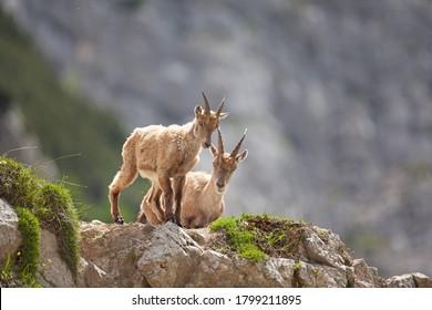 Ibex (Capra ibex) dans les montagnes. Nature sauvage européenne. Promenade en Slovénie. Approchez-vous du bouquetin. La nature dans le parc national de Triglav. Escalade d'Ibex sur le rocher
