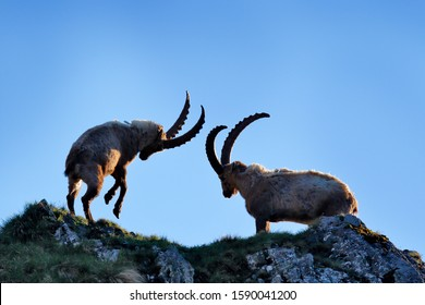 Ibex fight on the rock. Alpine Ibex, Capra ibex, animals in nature habitat, France. Night in the high mountain. Beautiful mountain scenery with two animals with big horns. Wildlife Europe.